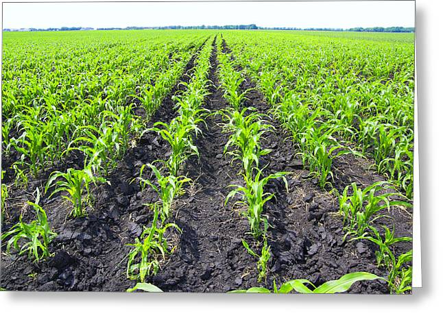 Young Corn Field Greeting Card
