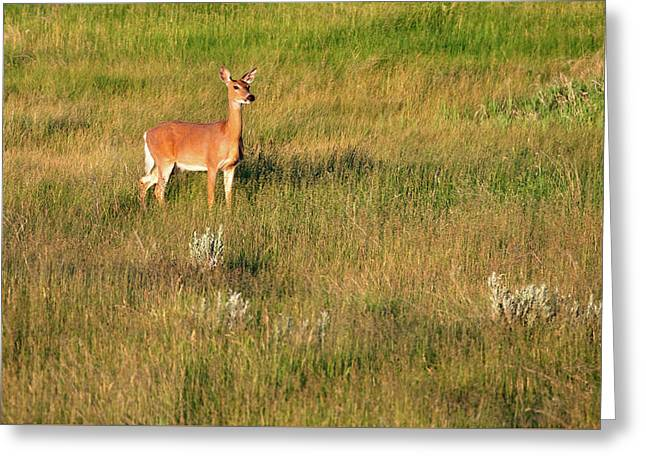 Young Deer Greeting Card