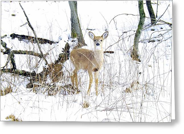 Young Doe And Spring Snow Greeting Card