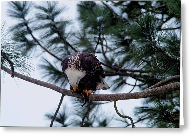 Young Eagle Devouring A Fish Greeting Card