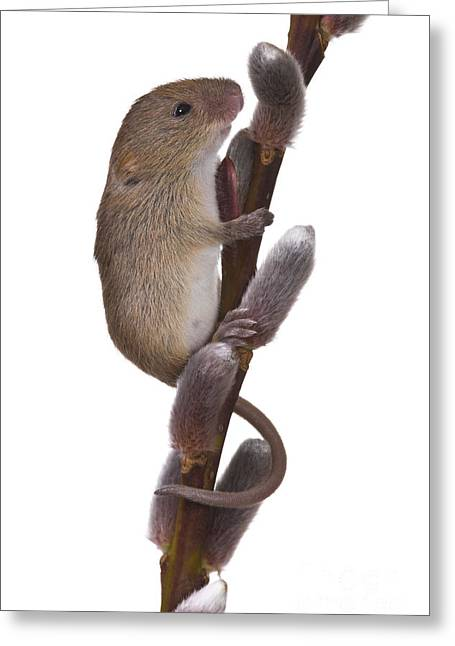 Young Eurasian Harvest Mouse Greeting Card by Jean-Louis Klein & Marie-Luce Hubert