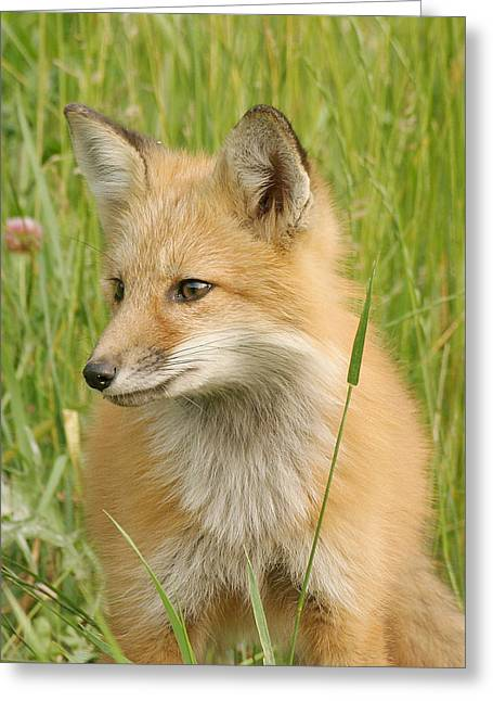 Greeting Card featuring the photograph Young Fox by Doris Potter