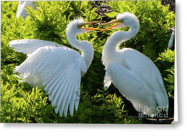 Young Great Egrets Playing Greeting Card