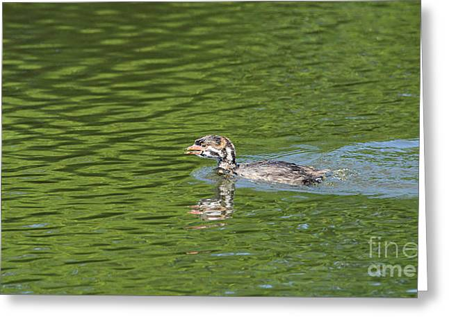 Young Grebe Greeting Card by Marv Vandehey