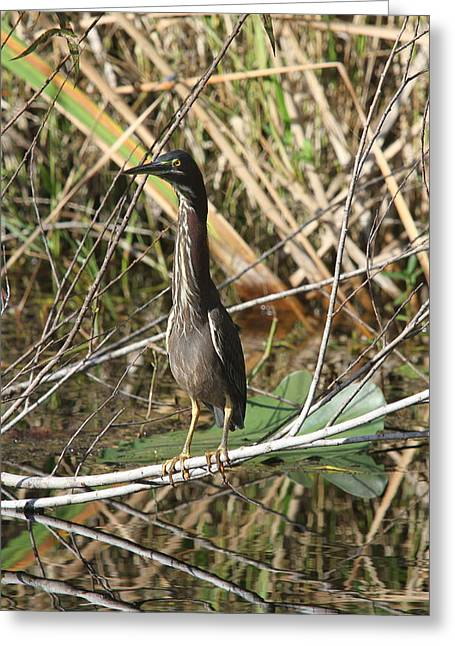Young Green Heron  Greeting Card by Christiane Schulze Art And Photography