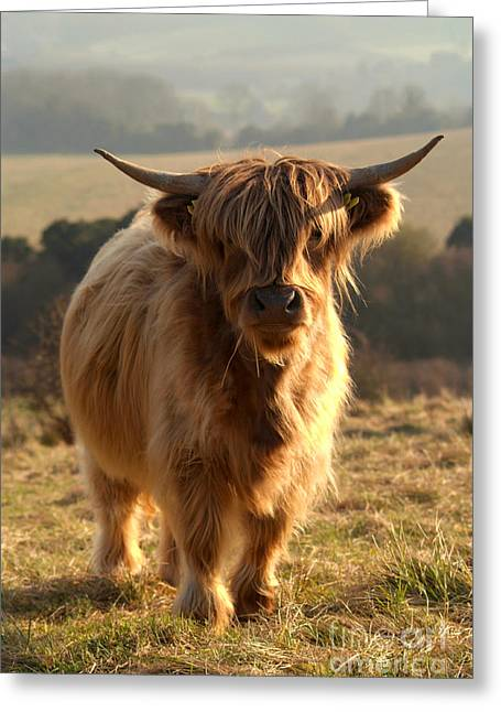 Young Highland Cow Greeting Card