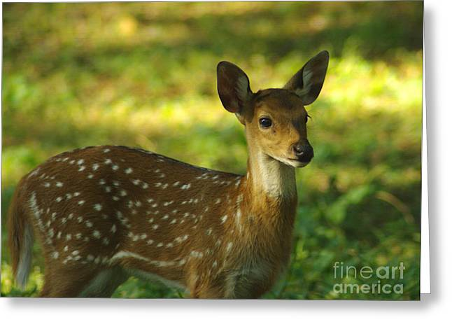 Greeting Card featuring the photograph Young Indian Spotted Deer by Jacqi Elmslie