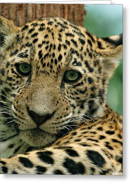 Indiana Art Greeting Cards - Young Jaguar Greeting Card by Sandy Keeton