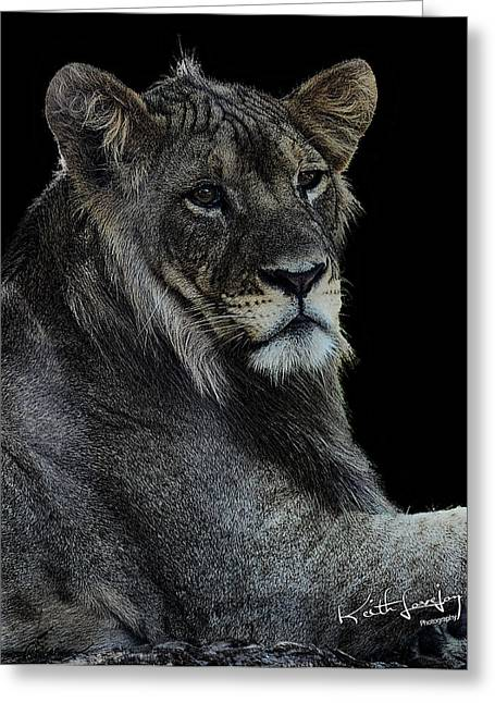 Young Lion Greeting Card by Keith Lovejoy