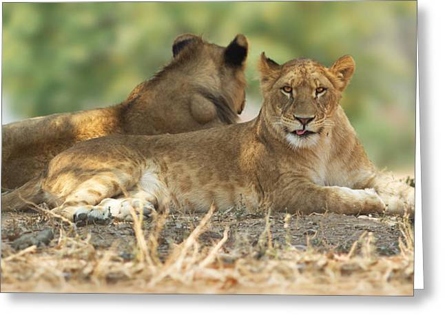 Young Lioness Greeting Card by Yuri Peress