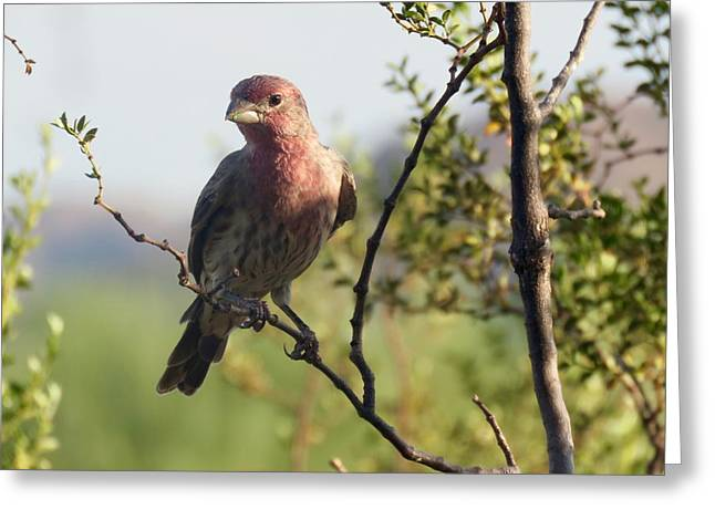 Young Male House Finch Greeting Card