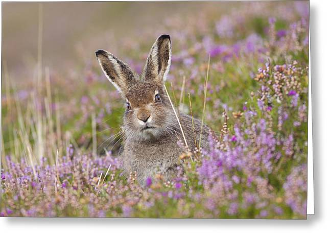 Young Mountain Hare In Purple Heather Greeting Card