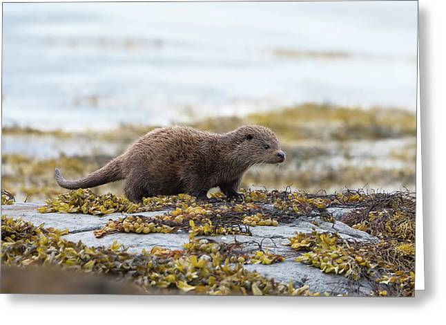 Young Otter Greeting Card