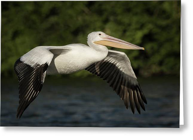 Young Pelican 2016-1 Greeting Card