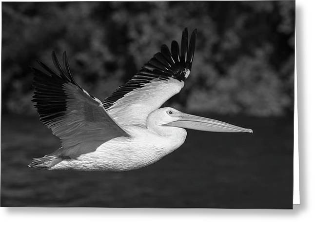 Young Pelican 2016-3 Greeting Card