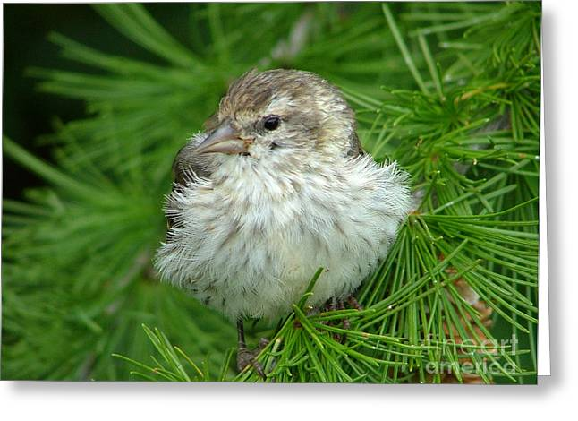 Young Pine Siskin Greeting Card