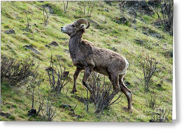 Greeting Card featuring the photograph Young Ram Climbing by Mike Dawson
