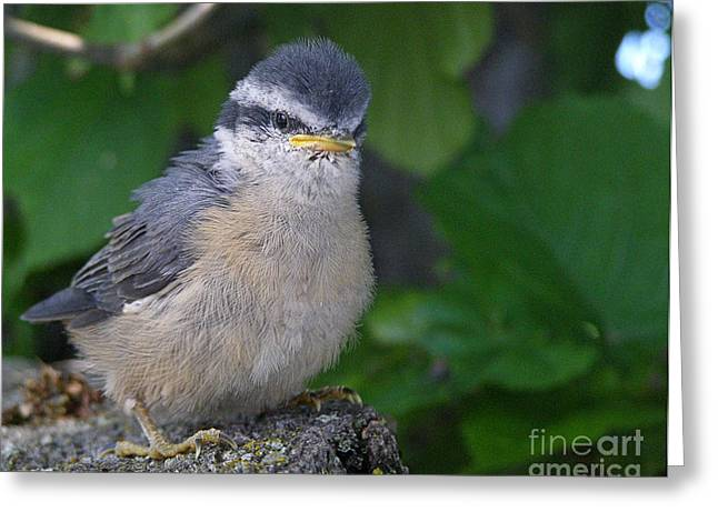 Greeting Card featuring the photograph Young Red-breasted Nuthatch No. 1 by Angie Rea
