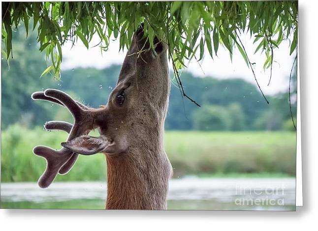 Young Red Deer Stag - Cervus Elaphus - In Velvet Antlers, Browsing Greeting Card