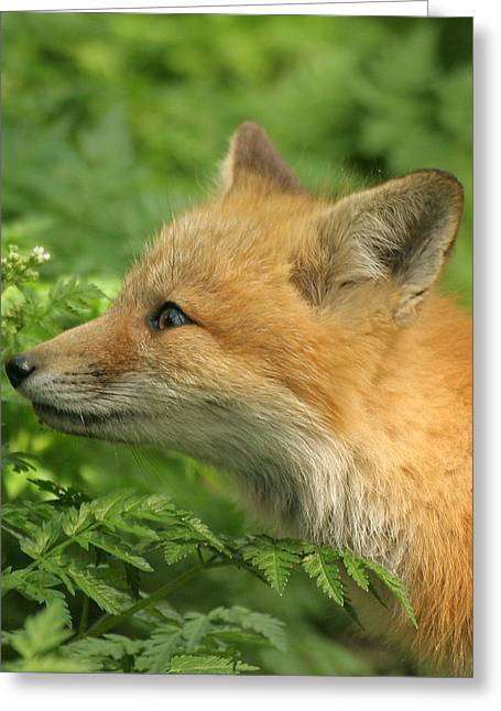 Greeting Card featuring the photograph Young Red Fox In Profile by Doris Potter