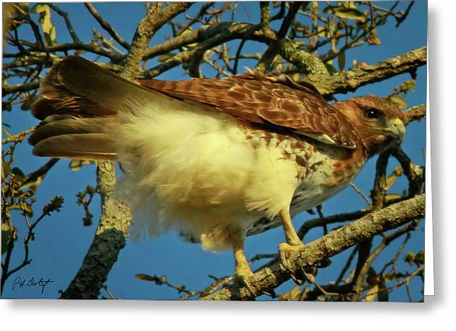 Young Red-tail Greeting Card by Phill Doherty