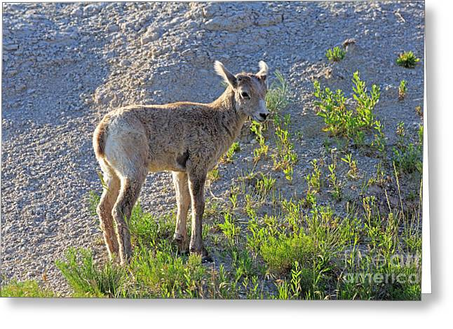 Young Rocky Mountain Bighorn Sheep Greeting Card by Louise Heusinkveld