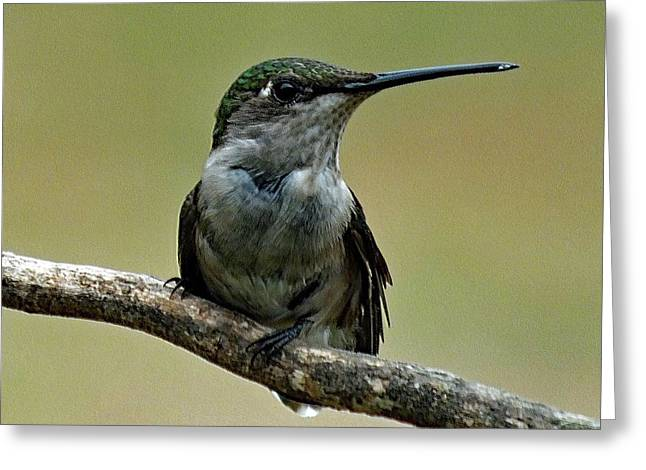 Young Ruby-throated Hummingbird Greeting Card by Cindy Treger
