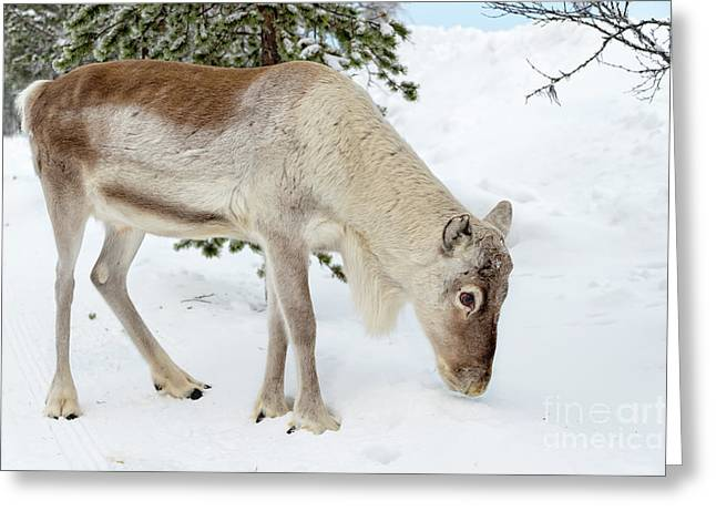 Greeting Card featuring the photograph Young Rudolf by Delphimages Photo Creations