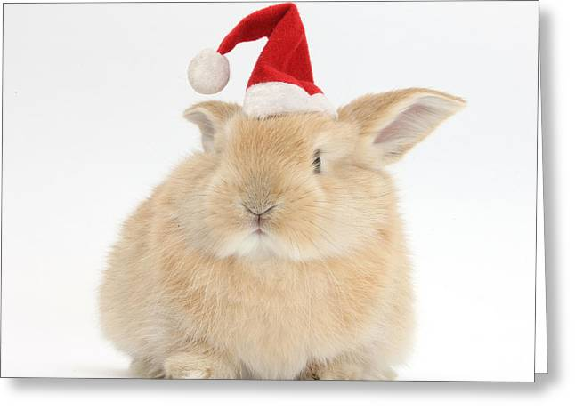 Young Sandy Rabbit Wearing A Christmas Greeting Card