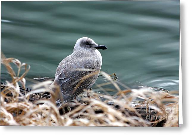Young Seagull Greeting Card by Nick Gustafson