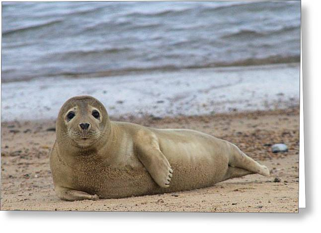 Young Seal Pup On Beach - Horsey, Norfolk, Uk Greeting Card by Gordon Auld