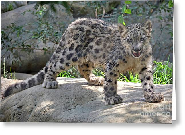 Young Snow Leopard Greeting Card