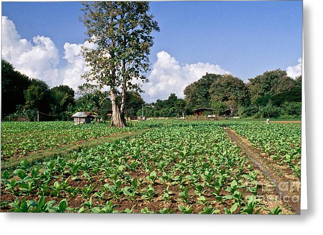 Young Tobacco Plants Greeting Card by Inga Spence