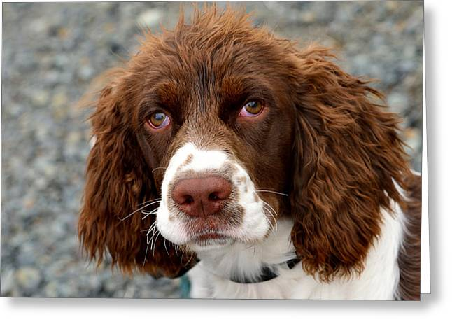 Young Water Spaniel Greeting Card