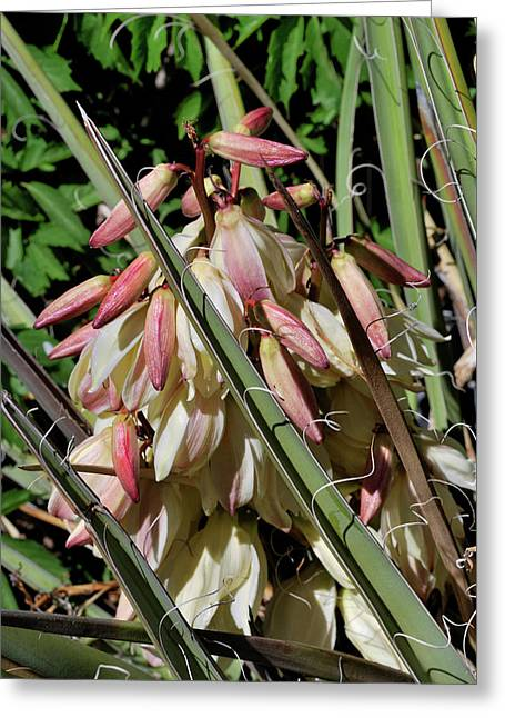 Yucca Bloom I Greeting Card