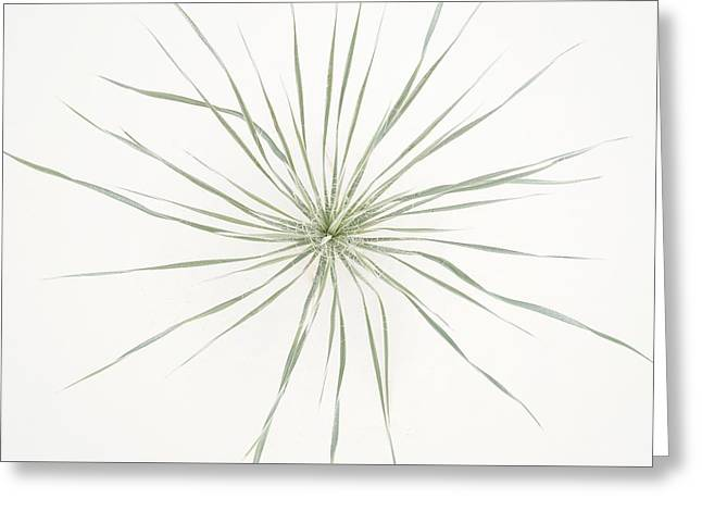 Yucca Whorl - White Sands National Monument Greeting Card