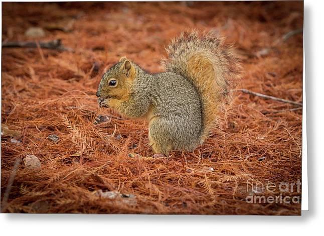 Yum Yum Nuts Wildlife Photography By Kaylyn Franks     Greeting Card