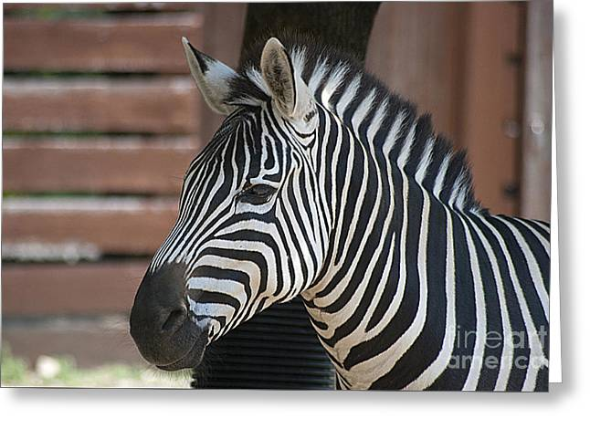Greeting Card featuring the photograph Zebra 20120718_150a by Tina Hopkins