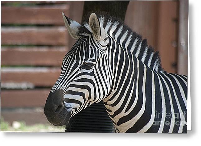 Zebra 20120718_150a Greeting Card by Tina Hopkins