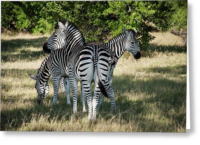 Three Zebras Greeting Card