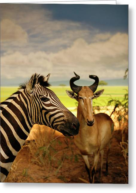 Zebra And Antelope Greeting Card by Marilyn Hunt