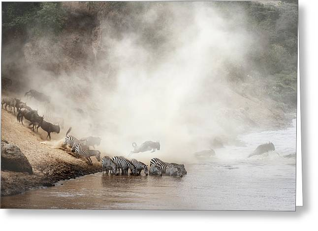 Zebra And Wildebeest Migration In Africa Greeting Card