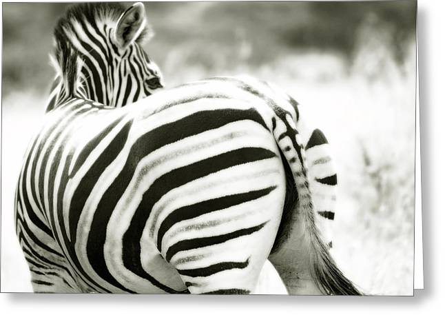 Zebra Bum Greeting Card by Tim Booth