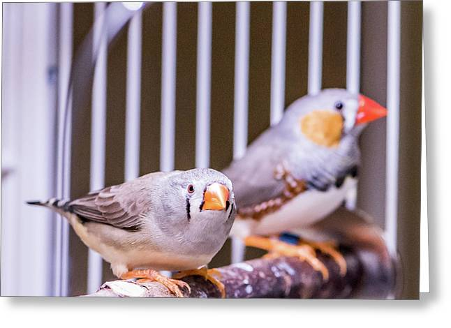Zebra Finch Pair Greeting Card