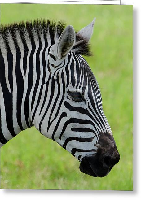 Zebra Head Profile On Savannnah Greeting Card by Artful Imagery
