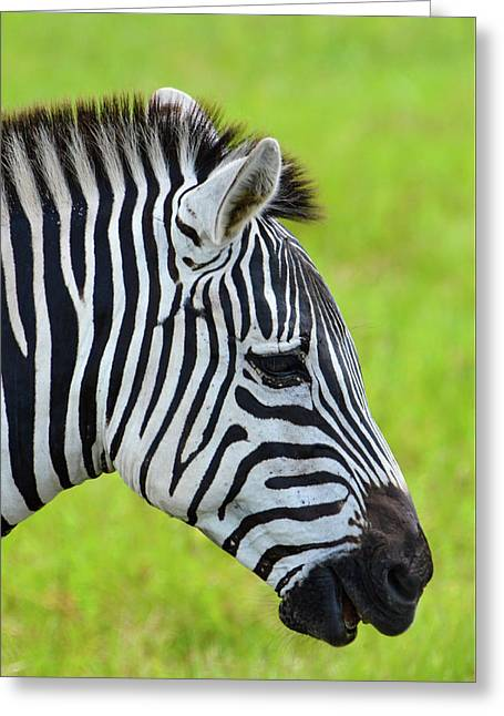 Zebra Head Smiling With Mouth Open Greeting Card by Artful Imagery