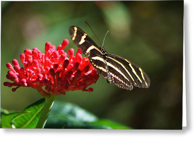 Zebra Heliconia Butterfly Greeting Card