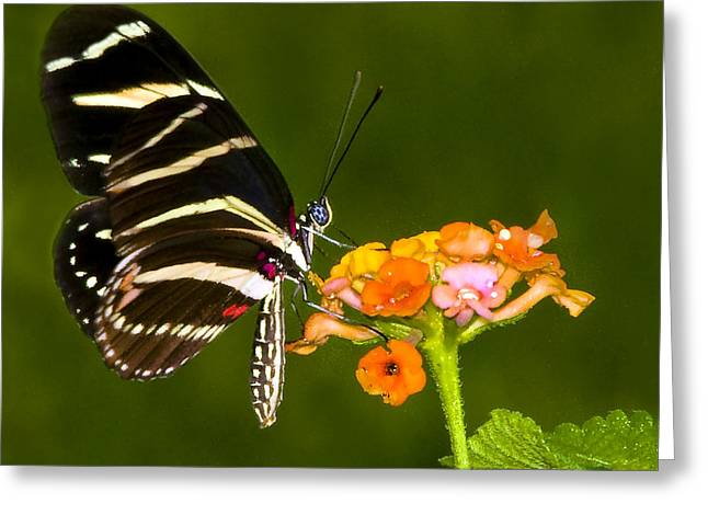 Zebra Heliconian On Milkweed Flower Greeting Card by Don Durfee