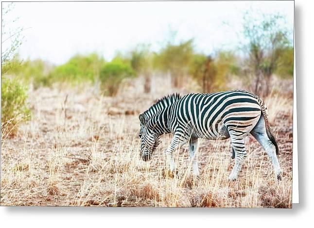 Zebra In Savanna Of South Africa Greeting Card by Susan Schmitz