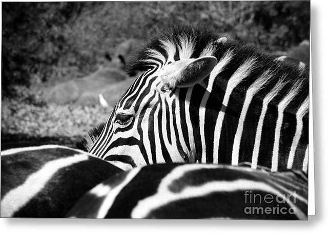 Zebra Incognito Greeting Card by Tonya Laker